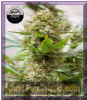 Dinafem Strawberry Amnesia Fem 5 Weed Seeds